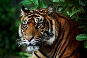 stock photo of zoo  - Tiger at Burger - JPG