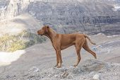 stock photo of vizsla  - pure breed intact male Vizsla dog in the mountains - JPG