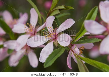 Flowers of almonds