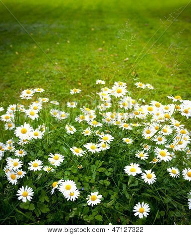 Daisies On Mown Lawn