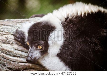 Portrait of black and white ruffed lemur (Varecia variegata)