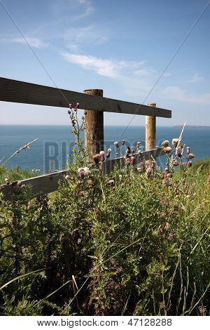 Thistles On The Coastal Path