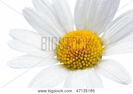 Daisy (Chamomile) Flower With Water Drops On White Background
