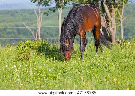 Bay horse is walked in the electroshepherd