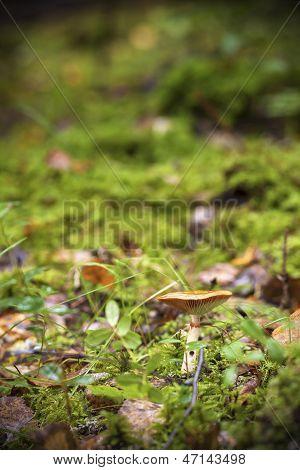 False Saffron Milk-cap Mushroom