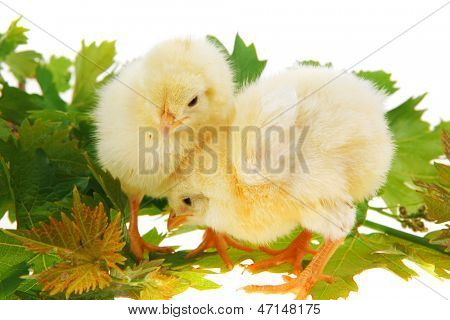 live little chicken animal isolated on white background on green leaves