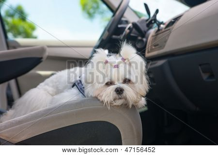 Little cute maltese dog in the car on the front seat