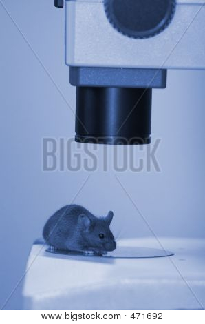 Laboratory Mouse Under The Microscope Close-up (blue Light)