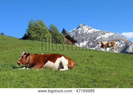 Fleckvieh Cattle In The Bernese Oberland