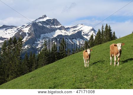 Calves In Front Of The Oldenhorn
