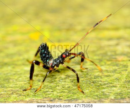Assassin Bug Nymph