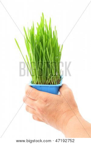 Hand hold wheatgrass in flowerpot