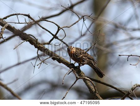 Pine Siskin bird on the branch of a tree