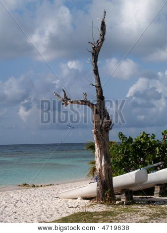 Weathered Dead Tree On Long Bay Beach, Antigua Barbuda