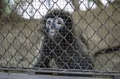 stock photo of animal cruelty  - sad crying monkey in cage in Thailand zoo - JPG