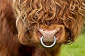 pic of highland-cattle  - portrait of an long haired highland cattle closeup - JPG