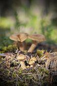picture of fenugreek  - Family of fenugreek milkcap mushrooms in forest - JPG
