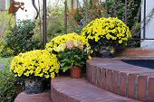 picture of pot  - Chrysantemums plants and flowers in pots on a doorstep leading to a garden or patio - JPG