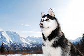 image of siberian husky  - Siberian Husky posing on a sunny winter day - JPG