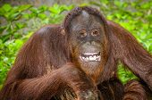 stock photo of orangutan  - Portrait of Orangutan  - JPG