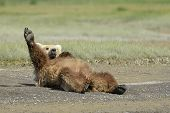 stock photo of omnivore  - Grizzly Bear lying on beach and stretching - JPG