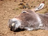 stock photo of jack-ass  - Brown and white Donkey taking a nap in the sun - JPG
