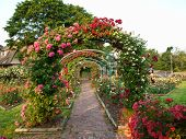 stock photo of climbing roses  - formal rose garden with arching trellises covered in flowers - JPG
