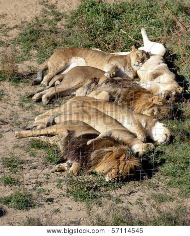 Six sleeping lions