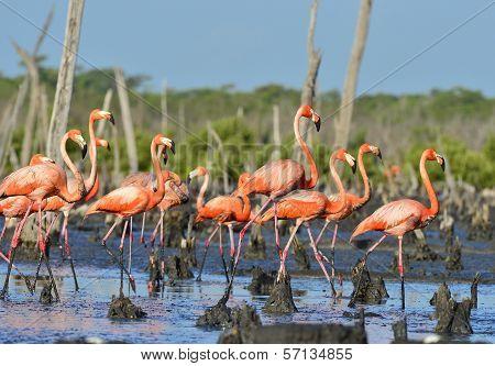 Great Flamingo  (phoenicopterus Ruber)