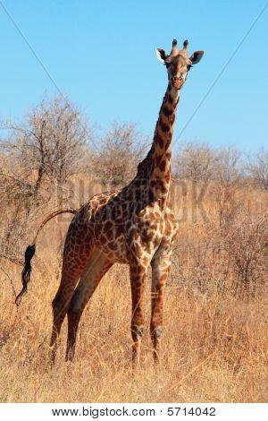 Young giraffe in bush (portrait orientation)