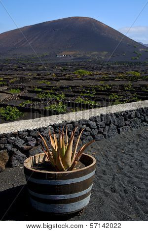 Cactus  Viticulture  Winery Lanzarote Spain