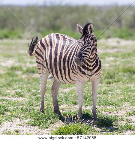 Burchells Zebra (equus Burchelli)