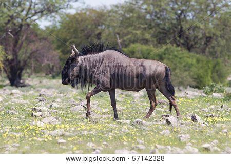 Wildebeest Walking The Plains Of Etosha National Park