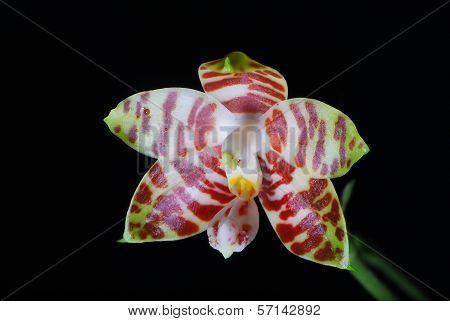 Orchid, Phalaenopsis Amboinensis On Black Background