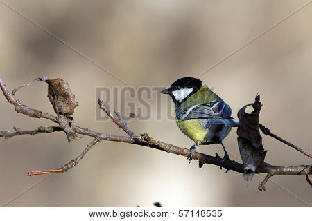 Great Tit On Branch In The Garden