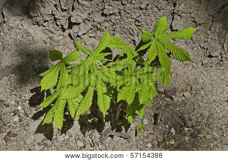 Young horse chestnut tree