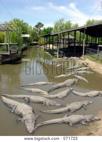 Lots Of Alligators