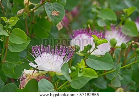 Flowering Caper Plant (capparis Spinosa)