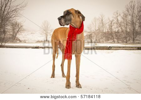 Great dane standing in snow with scarf