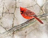 foto of cardinals  - A closeup photo of a Cardinal bird in winter.