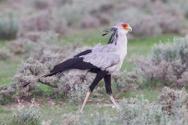picture of sagittarius  - Secretary Bird Sagittarius serpentarius in grass Etosha National Park Namibia - JPG