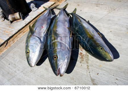 Yellowtail Fish