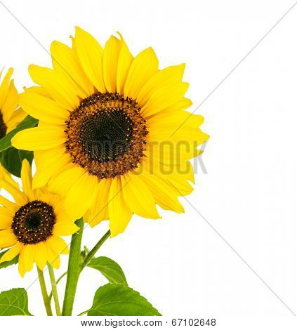 Flowers sunflower with green leaf. Isolated on white background