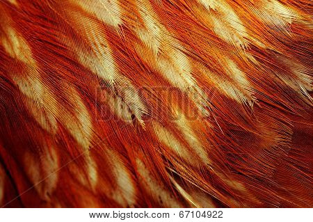 Chicken Feathers Macro