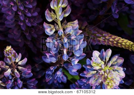 Garden lupine close up for background