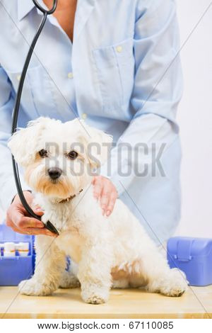 Veterinary treatment - lovely Maltese dog and friendly veterinary