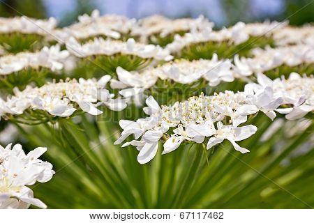 Heracleum Flower