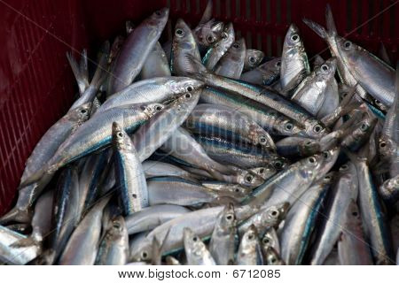 Sardines piled in a red basket after a days fishing