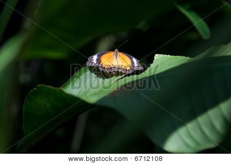 Orange Butterfly in thes sun on a green leaf