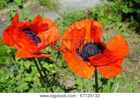 Big Red Poppies In A Garden.